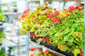 Muscat potted flowers on shelves garden shop — Stock Photo