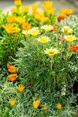 Marigold yellow and orange flowers garden center — Stock Photo