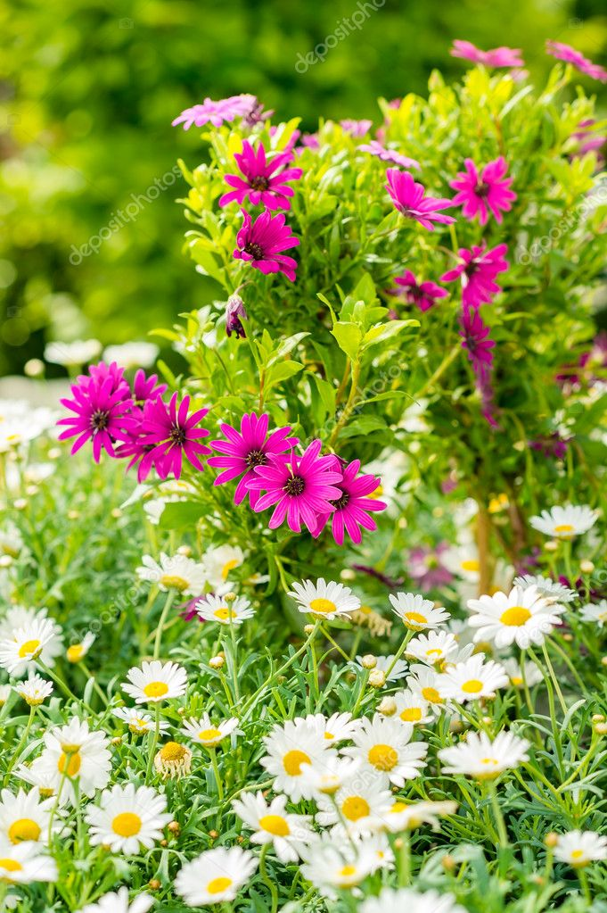Spring flowers in garden store greenhouse white and purple daisy — Stock Photo #12060465