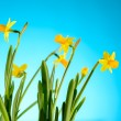 Yellow narcissus spring flowers on blue background — Stock Photo #40764469