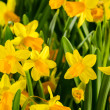 Stock Photo: Spring flowers yellow narcissus