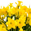 Stock Photo: Spring flowers yellow narcissus on white background