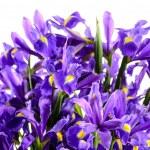 Spring flowers blue iris — Stock Photo #40764677