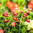 Bellis red potted spring flowers — Stock Photo