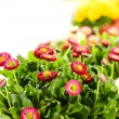 Bellis potted plant spring flower — Stock Photo #40765259