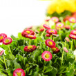 Stock Photo: Bellis potted plant spring flower