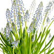 Stock Photo: Muscari blue spring flower potted plant