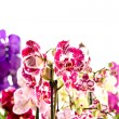 Stock Photo: Colorful Orchidaceae on white background
