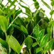 Stock Photo: Zamioculcas zamiifolipotted house plant