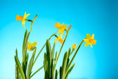 Yellow narcissus spring flowers on blue background — Stock Photo