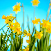Spring flowers yellow narcissus on blue background — Stock Photo