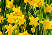 Spring flowers yellow narcissus — Stock Photo