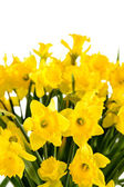 Spring flowers yellow narcissus on white background — Stock Photo