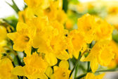 Detail of yellow narcissus spring flower — Stock Photo