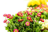 Bellis potted plant spring flower — Stock Photo