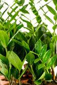 Zamioculcas zamiifolia potted house plant — Stock Photo