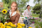 Woman choosing potted sunflower — Stock Photo