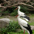 Two White Storks — Stock Photo
