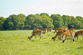 Deer herd — Stock Photo