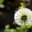 Insect on dandelion against sunlight — Stock Photo #41279095