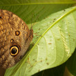 Close-up blue morpho butterfly sitting on leaf — Stock Photo #41382037