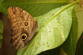 Close-up blue morpho butterfly sitting on a leaf — Stock Photo
