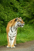 Amur Tigers on a geass in summer day — Stock Photo