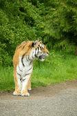 амурский тигр — Стоковое фото