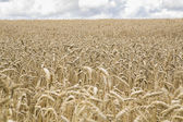 Field of ripe rye allow great harvest — Stock Photo