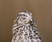 Quail looking at another direction with care — Stock Photo