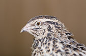 Young quail head is photographed from left — Stock Photo