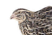 Quail is photographed on white textile background — Stock Photo