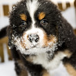Bernese mountain dog puppet is sniffing camera — Stock Photo