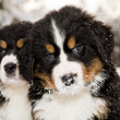 Bernese mountain dog puppest looking at camera — Stock Photo