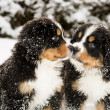Bernese mountain dog puppets sniff each others — Stock Photo
