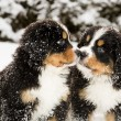 Bernese mountain dog puppets sniff each others — Stock Photo #16980291