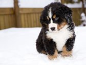Bernese mountain dog puppet is looking carefully — Stock Photo