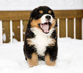 Bernese mountain dog puppet is yawing widely — Stock Photo