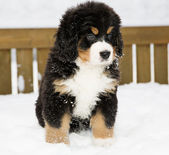 Bernese mountain dog puppet patience is down — Stock Photo