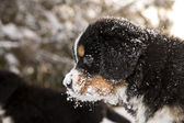 Bernese mountain dog puppet looking after others — Stock Photo