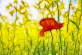 Poppy is widely booming under summer sun — Stock Photo