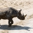 Rhinoceros is angry and prepeared for attack — Stock Photo