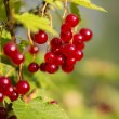 Zoomed bunch of redcurrants hang on braches — Stock Photo #31057315