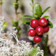 Zoomed bunch of ripe foxberry with moss — Stock Photo #31058933