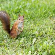 Hairy squirell stopped at low mown grass — Stock Photo #31059003
