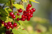 Zoomed bunch of redcurrants hang on braches — Stock Photo