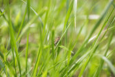 Grasshopper cling to grass stem and hide — Stock Photo