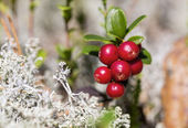 Zoomed bunch of ripe foxberry with moss — Stock Photo