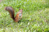 Hairy squirell stopped at low mown grass — Stock Photo