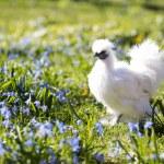 Hen on the sunny backyard — Stock Photo #45990847